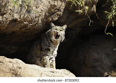 A bobcat sitting on rocks yawning