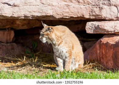 A bobcat sitting in the sunshine next to its den looking to the side.