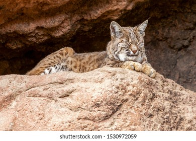 Bobcat Sleeps in the Shade at the Entrance of a Cave