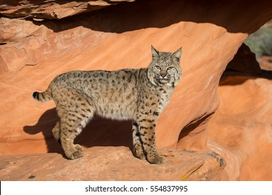 bobcat standing in profile looking into the camera with a sandstone arch in background