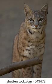 Bobcat Staring into Camera, close-up