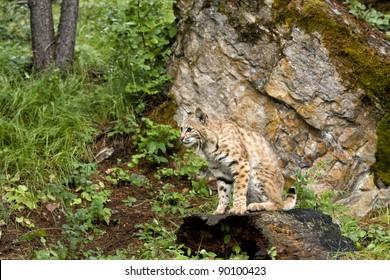 Bobcat Waiting for Prey