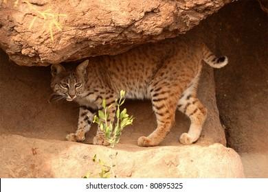 A Bobcat walking along a rocky sandstone ledge.