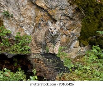 Bobcat Watching for Prey