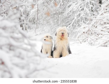 bobtail dog with puppy in winter