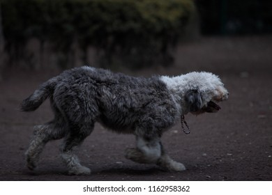 Bobtail dog running - perro viejo pastor inglés corriendo