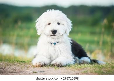 Bobtail puppy lying outdoors