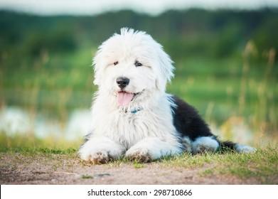 Bobtail puppy lying in summer