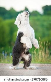 Bobtail puppy playing
