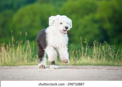 Bobtail puppy running on the field