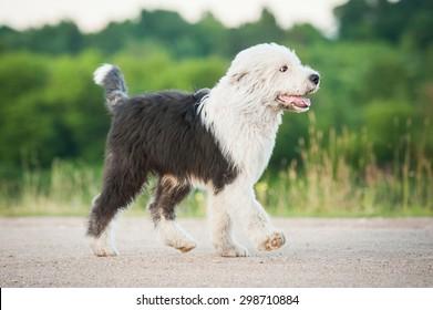 Bobtail puppy running trot in summer