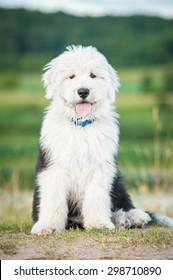 Bobtail puppy sitting outdoors