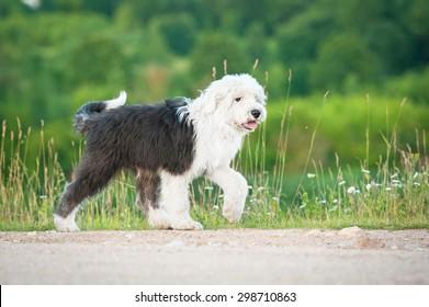 Bobtail puppy walking outdoors in summer