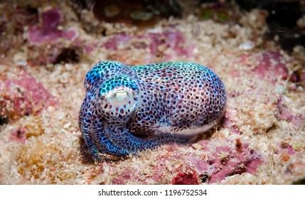 Bobtail squid close up, Indonesia.