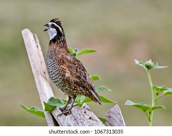 A Bobwhite Quail calling desperately for a mate, or maybe just a friend.