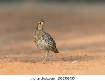 Bobwhite Quail in southern Texas USA