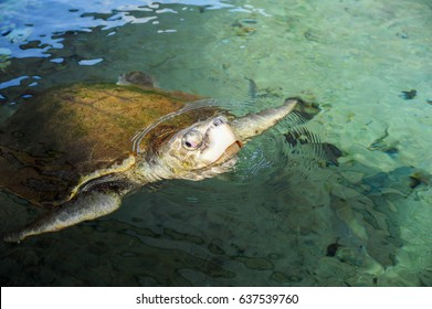 BOCA RATON, FLORIDA - JANUARY 14 2011: A sea turtle in an outdoor tank at Gumbo Limbo Nature Center.