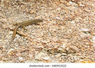 Bocage's wall lizard, Podarcis boagei, over a granite rock in Rua Island, Galicia, Spain
