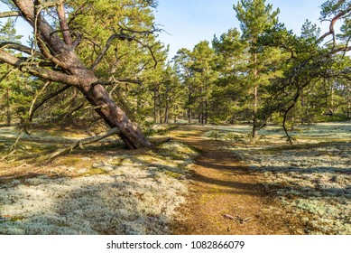 Boda coast eastern nature reserve on Oland, Sweden. Typical woodland landscape of the place with lots of old and gnarled pine trees on sandy soil.