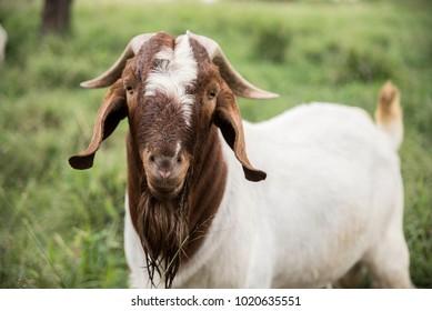 Goat Breeding Images, Stock Photos & Vectors | Shutterstock