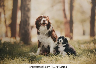 Boder collie puppy is sitting with mom
