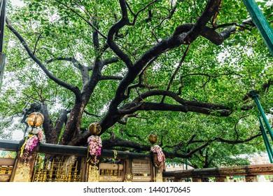 BODH GAYA, INDIA. JUL 27, 2017: The Bodhi Tree near Mahabodhi Temple at Bodh Gaya, Bihar, India.