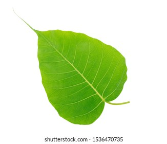 Bodhi green leaf isolated on white background with clipping path.