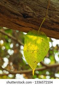 Bodhi leaf image  Leaf in the morning Single bo leaf Single bodhi Leaf image