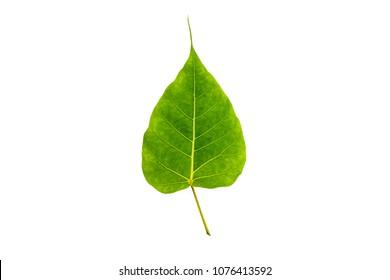 Bodhi Leaf, Leaves the Buddha, bothi leaf, pho leaf, bo leaf, ficus religiosa or sacred fig. Isolate on white background.