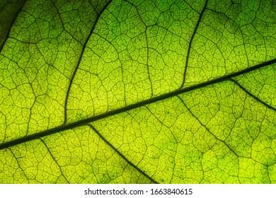 bodhi leaf macro pattern of green,Poland, Leaf, Textured, Textured Effect, Full Frame