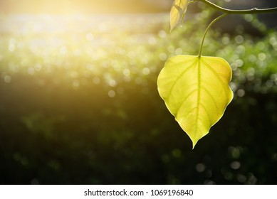 Bodhi leaf on natural background. Background for text.