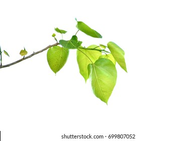 Bodhi leaf on a white background Tree in Buddhism