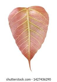 Bodhi leaf on a white background,Young Bo leaf (Pho leaf)