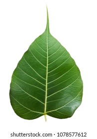 the bodhi leaf of Sacred fig or Ficus religiosa isolated on the white background