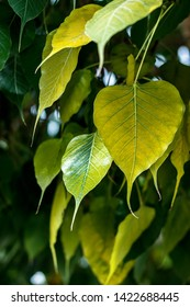 Bodhi leaves background in sun light dark background, also known as Pipal leaves and Bo leaves or banyan leaves
