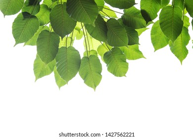 Bodhi leaves isolated on White background or Peepal Leaf from the Bodhi tree, Sacred Tree for Hindus and Buddhist., Used for graphics or advertising work.