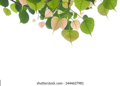 Bodhi leaves isolated on White background or Peepal Leaf from the Bodhi tree, Sacred Tree for  Buddhist