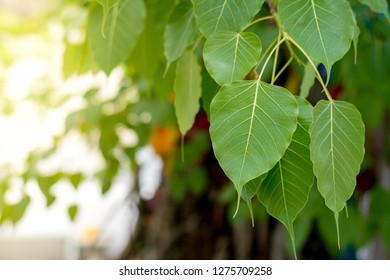 Bodhi leaves or pho leaves on natural background. Sacred Tree for Hindus and Buddhist.