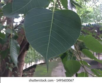 Bodhi or peepal leaf from the Bodhi tree