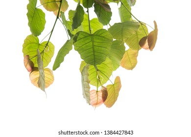 Bodhi or Peepal Leaf from the Bodhi tree, Sacred Tree for Hindus and Buddhist.On white background,Used for graphics or advertising work.