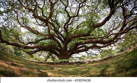 Bodhi tree, Ficus religiosa L., Big tree, Old tree conceptual of life Buddhism ( fisheye style )