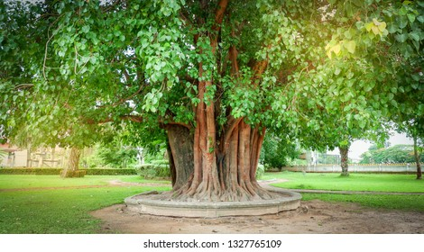 bodhi tree and green bodhi leaf with sunlight at temple thailand / Tree of buddhism