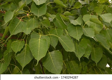 Bodhi Tree Green Leaves, Bodhi Tree is recognizable by its heart-shaped leaves, which are usually prominently displayed.