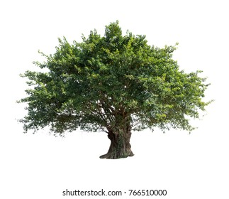 Bodhi tree isolated on white background high resolution for graphic decoration, suitable for both web and print media