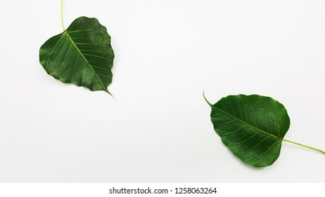 Bodhi tree leaf on white background with blank space