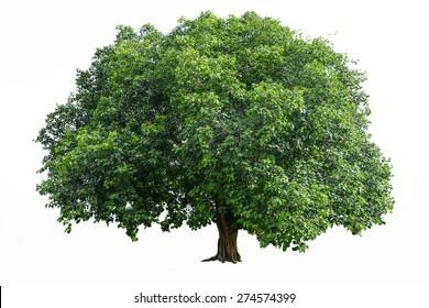 Bodhi Tree on white.Tree isolated botanical Tree.