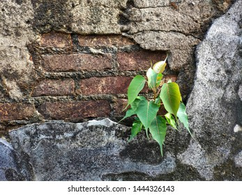 The Bodhi tree sprouts from the broken wall.