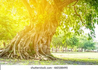 Bodhi tree with sunlight