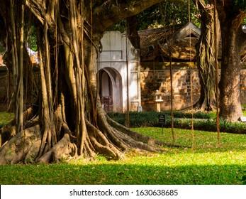 Bodhi Tree in the Temple of Literature (Vietnamese: Van Mieu) in Hanoi, Vietnam