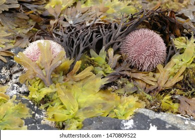 BODO, NORDLAND COUNTY / NORWAY - AUGUST 04 2019:  European edible sea urchin or common sea urchin at the coastal line of the Norwegian sea during the low tide